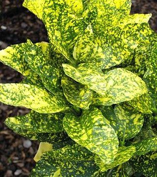 Laur japonez Grotonifolia Gold