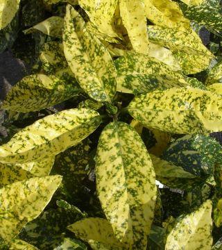 Laur japonez Grotonifolia Gold - frunze
