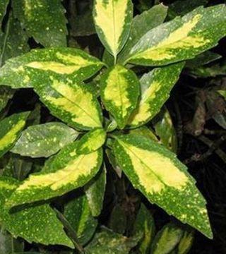 Laur japonez Picturata - frunza