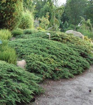 Ienuparul Green Carpet