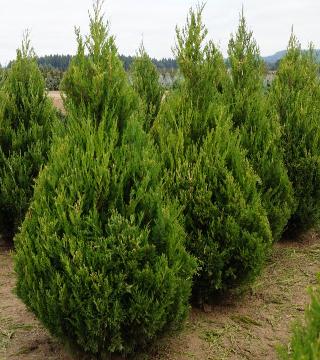 Juniperus chinensis Spartan - Ienupăr chinez spartan
