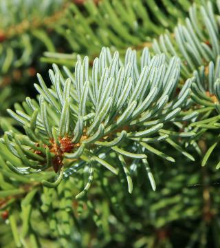 Frunze molidului sârbesc