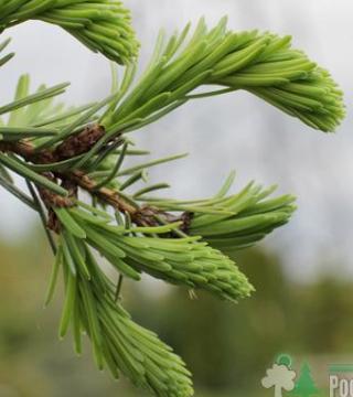 Молодые листья сербскои ель Пендула