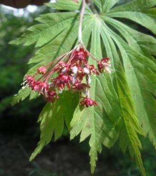 Floarea arțarului japonez Aconitifolium