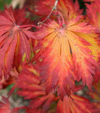 Frunza arțarului japonez Aconitifolium