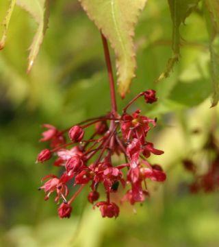 Floarea arțarului japonez