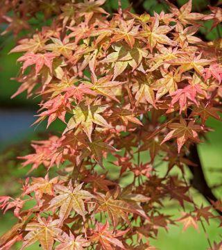 Frunzele arțarului japonez