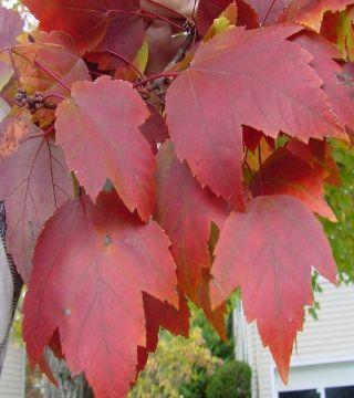 Frunza de toamna arțarului roșu