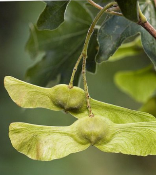 Fructul jugastrului