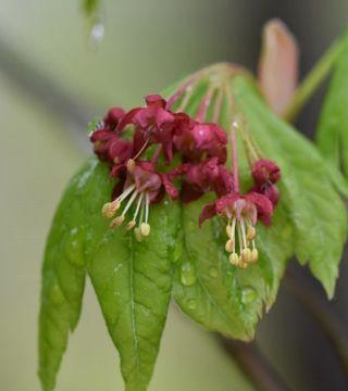Florile arțarului japonez Vitifolium