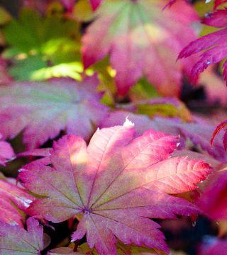 Frunzele arțarului japonez Vitifolium