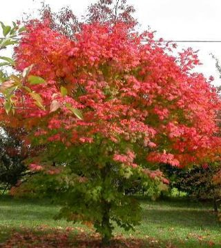 Arțar japonez Vitifolium