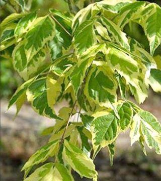Листья ясенелистного клёна Аурео-Вариегатум
