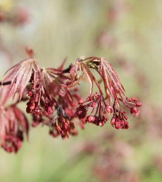 Florile arțarului japonez roșu