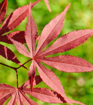 Frunza arțarului japonez roșu