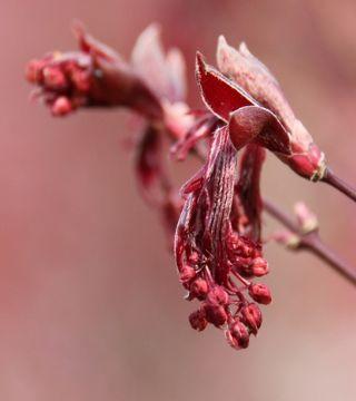 Florile arțarului japonez Bloodgood