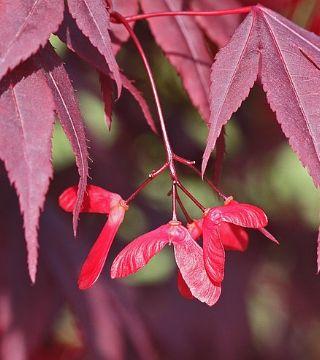 Fructul arțarului japonez Bloodgood