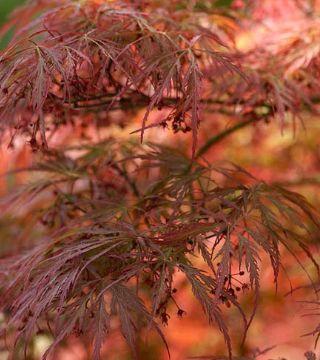 Florile arțarului japonez roșu Dissectum-Atropurpurean