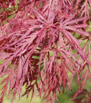 Frunzele arțarului japonez roșu Dissectum-Atropurpurean