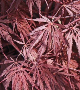 Листья дланевидного клёна Диссектум Гарнет