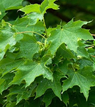 Frunzele paltinului de câmp