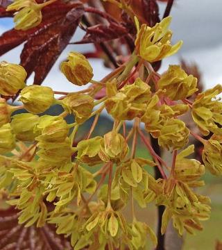 Цветы остролистного Дебора