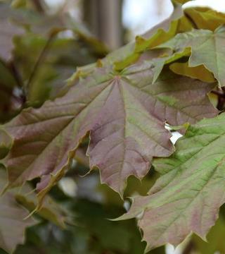 Листья остролистного Дебора