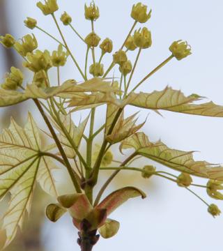 Florile paltinului de câmp Drummondi