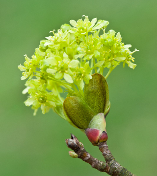 Florile paltinului de câmp Globosum